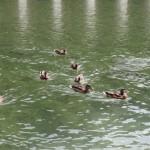 Des canards et des truites